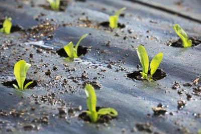 Seedlings, small plants planted out in the soil covered by moisture retaining covering.