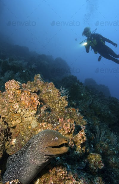 Scuba diver illuminates the hiding spot of a Finespotted moray eel, Galapagos Islands