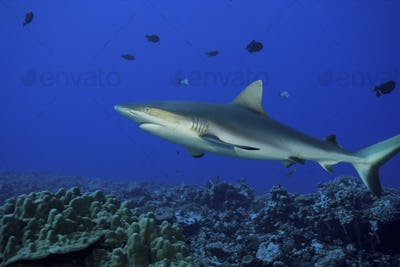 Gray reef shark, Carcharhinus amblyrhynchos, above a coral reef in French Polynesia.