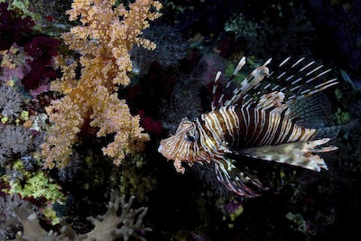 A  Common lionfish (Pterois volitans) looks lazily at the camera from a reef near Big Brother Island