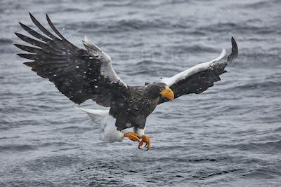 Steller's Sea Eagle (Haliaeetus pelagicus) hunting above water in winter.