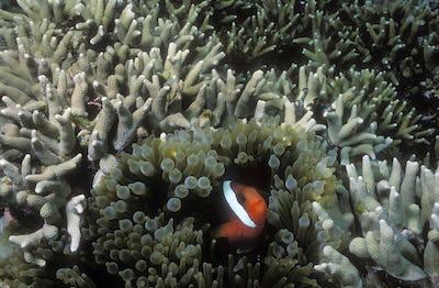 Orange-fin anemonefish.