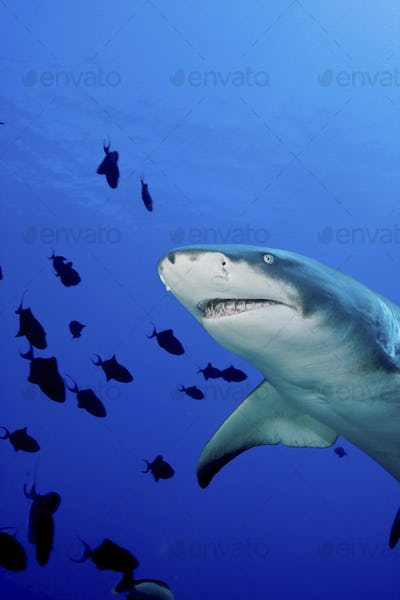 A Lemon shark, Negaprion brevirostris, underwater surrounded by smaller fish.