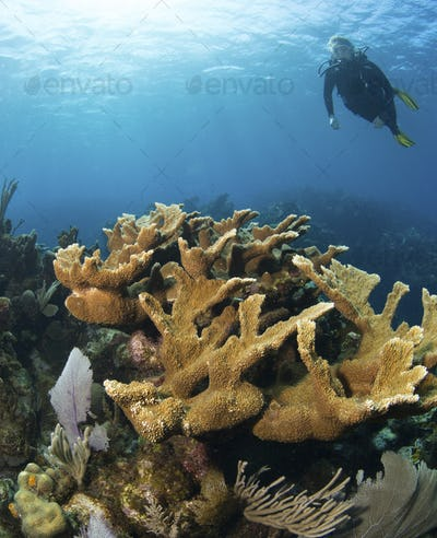 Scuba diver approaches a healthy stand of Elkhorn coral (Acropora palmata),Branches of healthy
