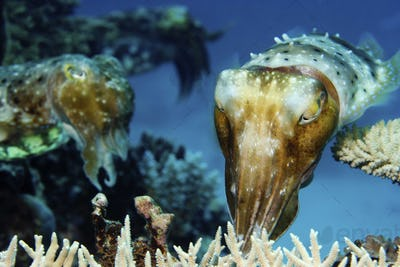 Cuttlefish placing eggs into the protection of coral on a reef.