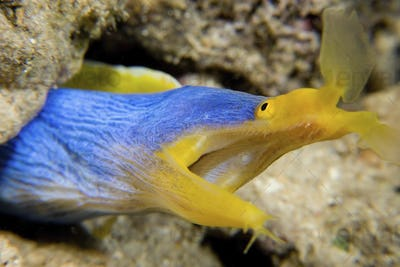 Ribbon eel in burrow, a bright blue and yellow eel with a large open mouth
