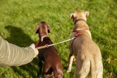 Dog walker with two dogs on leads