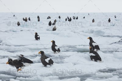Steller's Sea Eagle (Haliaeetus pelagicus) on frozen bay in winter.