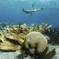 Snorkeler swimming over a field of hard corals.