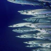 School of Blackfin barracuda (Sphyraena genie),Schooling barracuda.