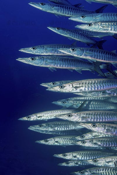 School of Blackfin barracuda (Sphyraena genie),Schooling barracuda.