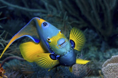 Queen angelfish (Holocanthus ciliaris), Florida Keys National Marine Sanctuary,Queen angelfish on