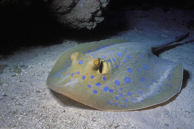 Bluespotted ribbontail ray, a large ray with spots on the seabed.
