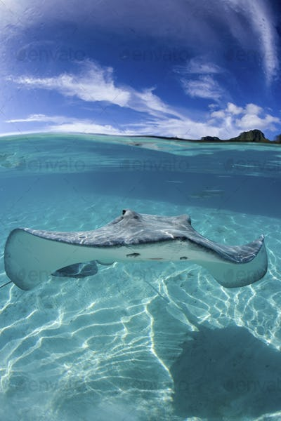 A Lone Tahitian stingray, Himantura fan, in water clear enough to see Blacktip sharks in the far