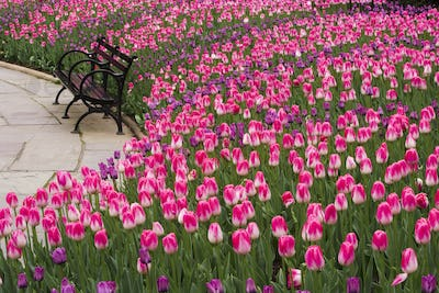 Central Park in New York City.  Tulips by an empty bench.