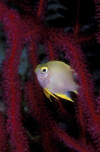 Golden damselfish in octocoral