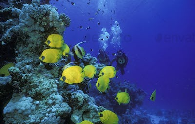 Scuba divers and a school of different types of butterflyfish, Red Sea