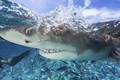 Over/under of the toothy grin of a lemon shark (Negaprion brevirostris),Shark at ocean's surface.