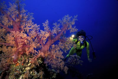 Scuba diver with a flashlight illuminates vividly colored soft corals, Great Barrier Reef, Australia