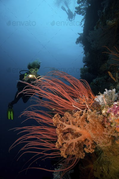 A female scuba diver illuminates a colorful display of red sea whips and pastel-colored soft corals,