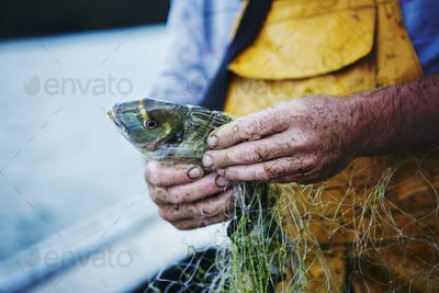 A fisherman in yellow waders on his boat extracting a fresh caught fish from the net.