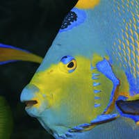 Close-up of face of Queen angelfish.