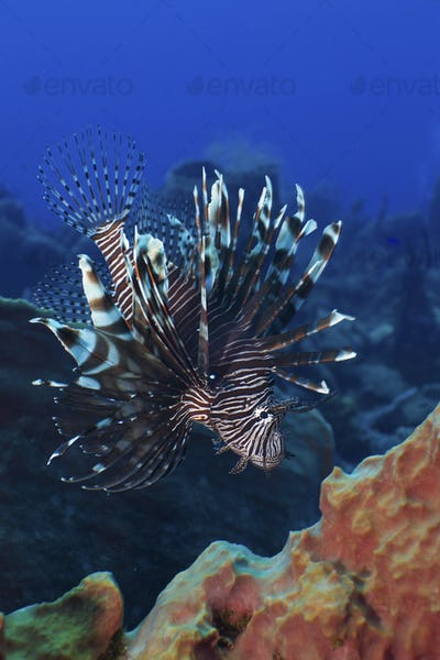 Invasive lionfish on reef in the Caribbean.