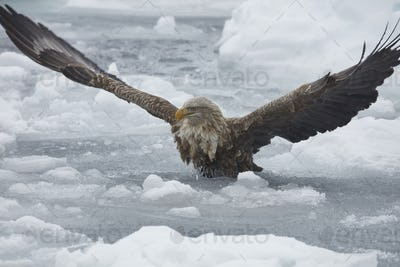 White-Tailed Eagle (Haliaeetus albicilla) hunting on frozen bay in winter.