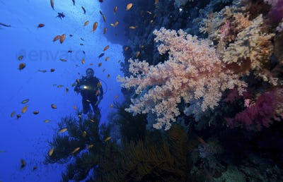 Diver illuminates a large branch of soft coral on the steep wall of Little Brother Reef, in the Red