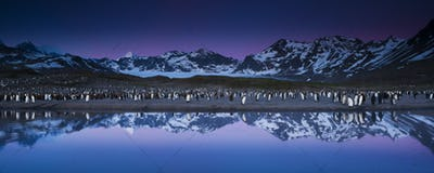 King Penguins, Aptenodytes patagonicus, in groups on the beach at dusk on South Georgia Island.