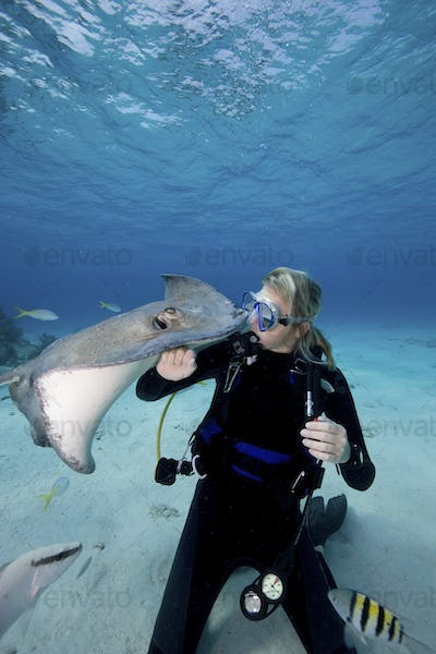 Scuba diver interacts with Southern Stingrays (Dasyatis americana)
