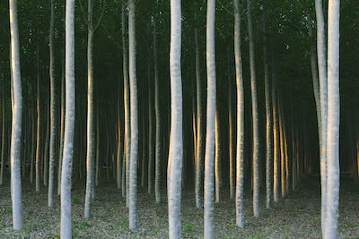 A plantation of poplar trees, commercial tree farm.