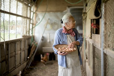 Elderly woman with grey hair standing in a chicken house, holding basket, collecting fresh eggs.