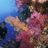 Scuba diver approaches colorful grouping of soft corals, Red Sea