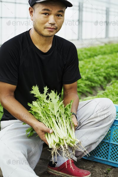 A young man working in a greenhouse holding harvested mizuna plants, Japanese greens