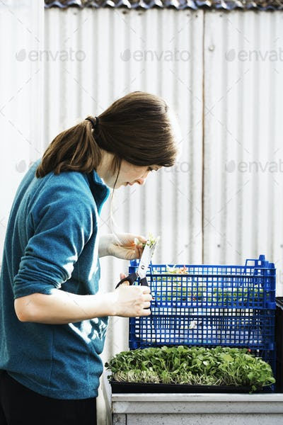 A woman cutting and packing salad leaves and fresh vegetable garden produce for distribution in a