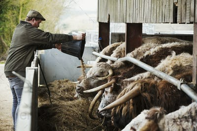 A farmer emptying feed in to a trough for a row of longhorn cattle, in a barn.