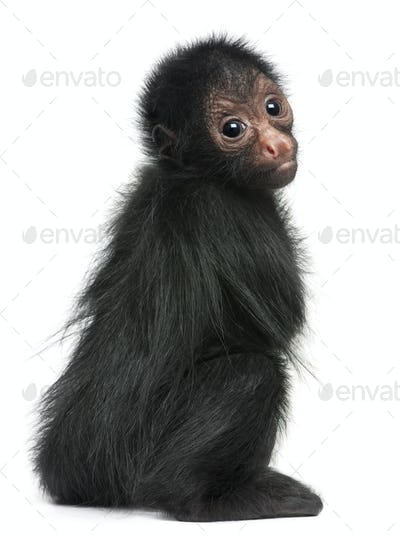 Red-faced Spider Monkey, Ateles paniscus, 3 months old, in front of white background