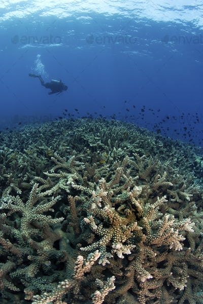 Lush coral reef, covered with Staghorn corals (Acropora sp.).  A large school of reticulated