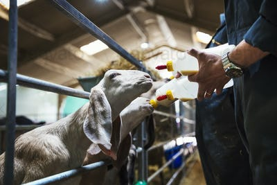 Close up of goats being bottle-fed in a stable.