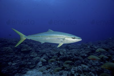 Mid-water view of a Rainbow runner fish, Elagatis bipinnulatus, off the shore of French Polynesia