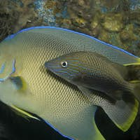 Bermuda blue angelfish (Holacanthus bermudensis) shadowed by a White grunt (Haemulidae plumierii).,A