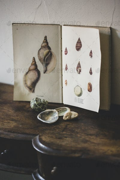Close up of Venus Ear shells and vintage card with drawings of sea shells on antique wooden table.