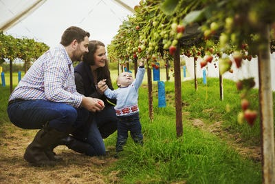 Fruit picking in a poly tunnel, PYO. A family and a baby boy picking strawberries from plants grown