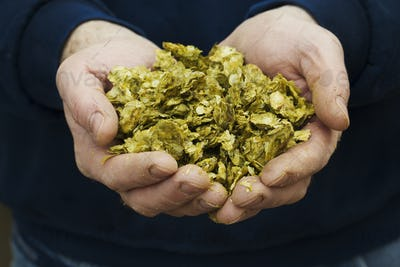 Close up of human hands holding hops, the major ingredient for making beer.