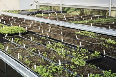 Small plants in rows growing under glass, in a kitchen vegetable garden