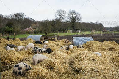 Gloucester Old Spot pigs in an open outdoors penwith fresh straw and metal pig arks, shelters.