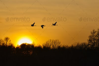 Silhouette of three red-crowned cranes, Grus japonensi, Japanese crane, in flight at sunset.