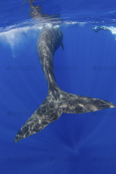 Tail fluke of a Sperm whale, the largest toothed whale, and a marine mammal.,Sperm whale (Pyseter