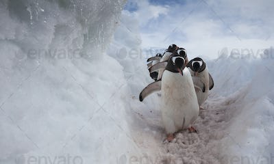 Gentoo penguins using a well worn pathway through the snow, to reach the sea. Antarctica